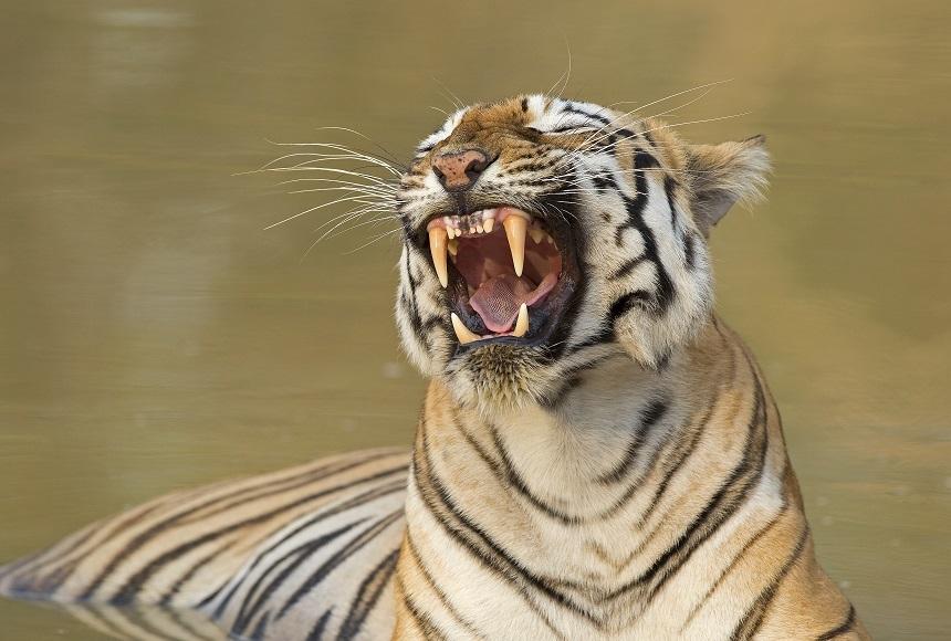 Exploratoare indiană spune povestea unui tigru care gândește și actionează ca un om