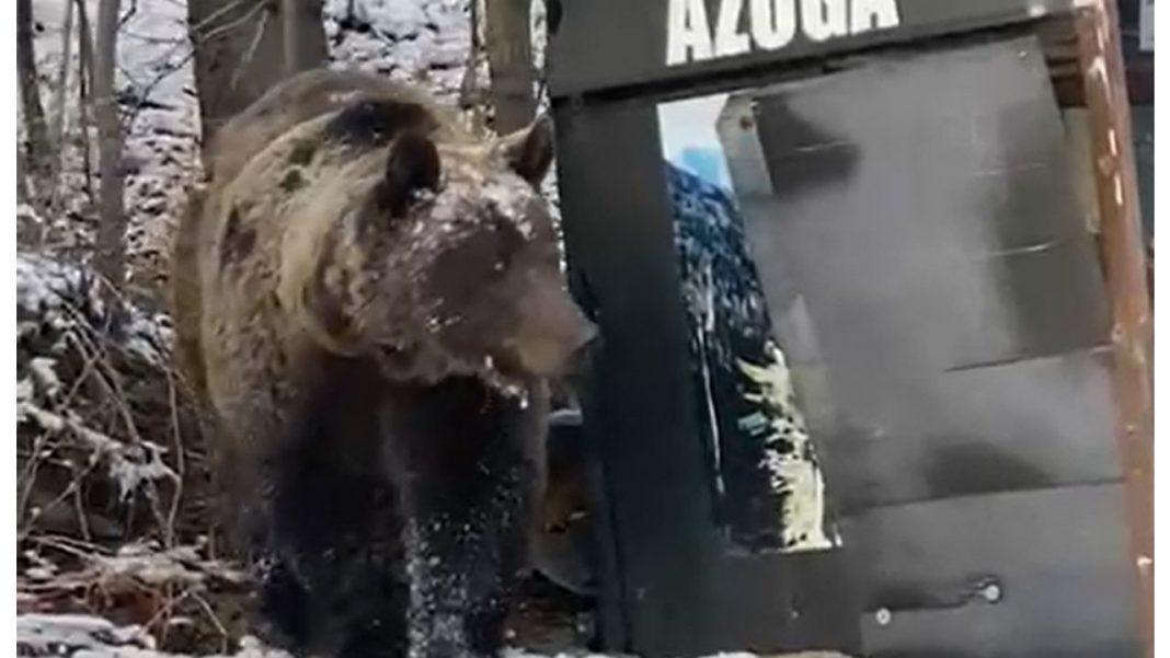 Azuga, o ursoaică și puiul ei, disperați de foame, au intrat în curțile