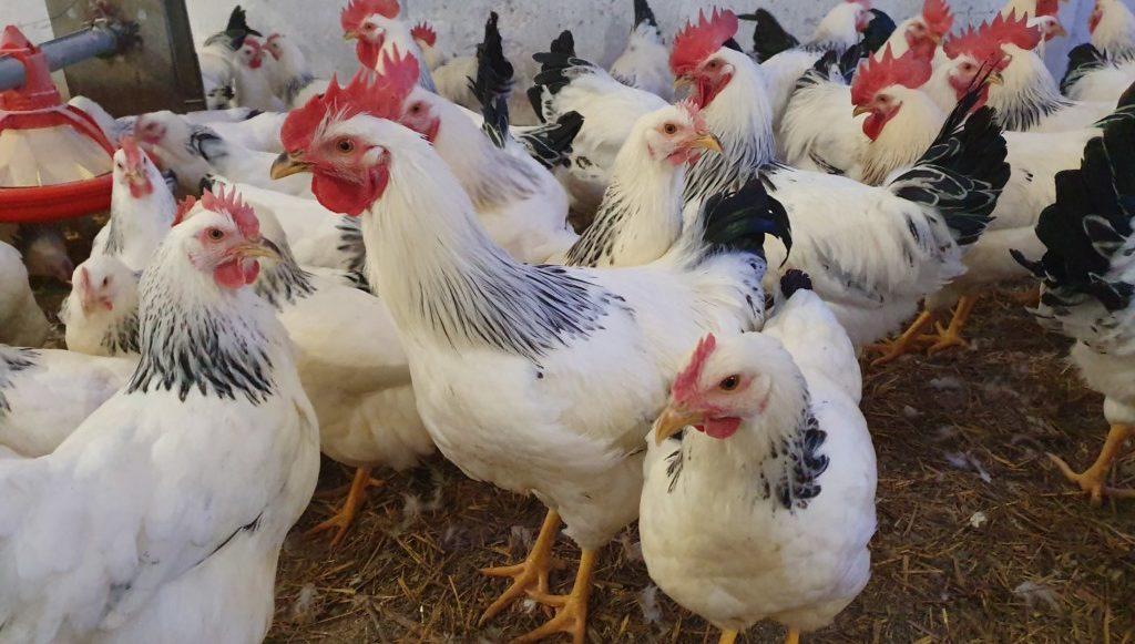 Gripa aviară se extinde în ţara noastră