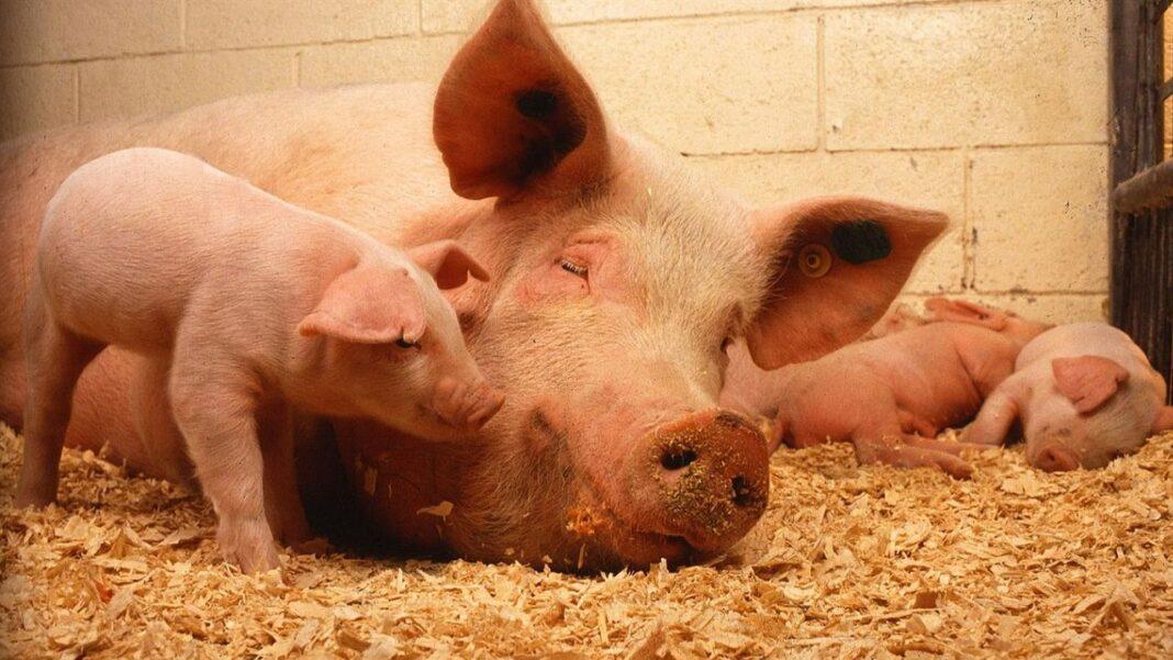 În România sunt active peste 300 de focare de pestă porcină