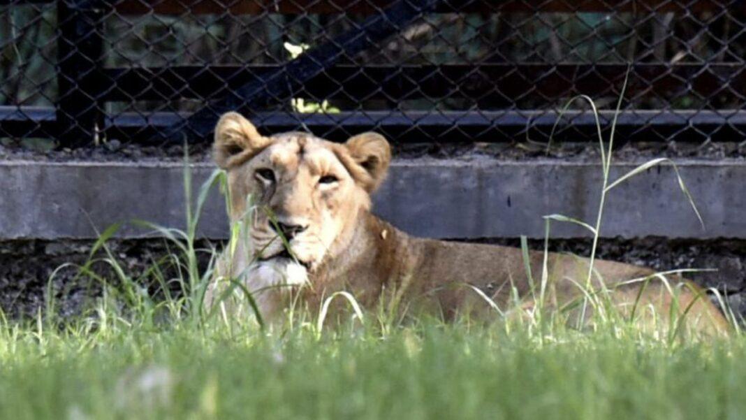 o leoaică a murit de Covid, la Grădina Zoologică