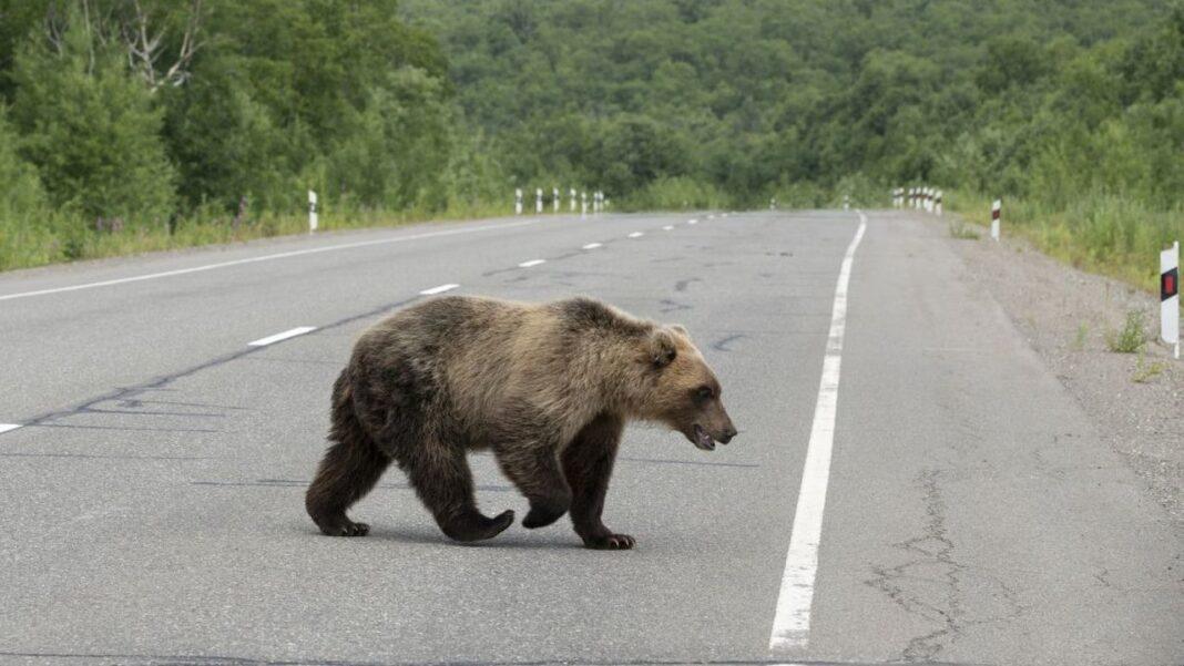 Urşii continuă să facă probleme în Harghita. 26 de apeluri la 112 în doar patru zile. Au fost emise mesaje RO-ALERT