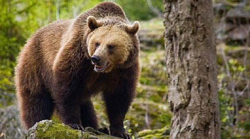 Despăgubiri de 15.000 de euro, dictate de o instanţă de judecată pentru o persoană atacată de urs. Statul român a fost găsit responsabil pentru atac