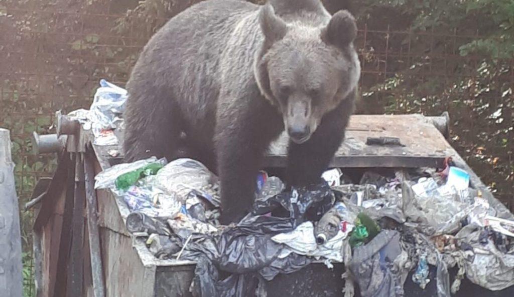 Preşedintele CJ Covasna și primarul Brașovului, dispută din pricina urșilor care intră în orașe